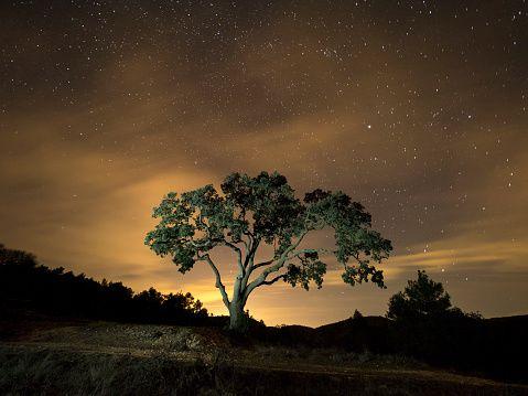 Giant tree, ( oak)  in the moonlight in the mountain