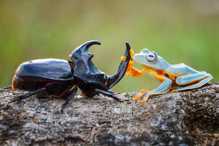 Hendy Mp, a wildlife photographer. A giant horned wood-boring beetle and a Reinwardt's Flying Frog, a threatened species that can glide down from trees with the skin between its fingers and toes.  Sambas, Indonesia.