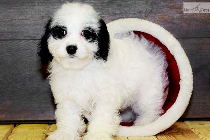 Cavapoo puppy for sale near Columbus, Ohio | ba4fa1f0-d731