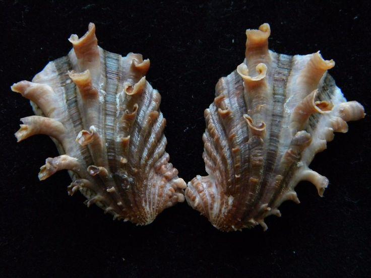 Sea Shells Cardita Crassicosta 43mm ID#3422BA  | Kolekcje, Minerały i skamieniałości, Muszle | eBay!