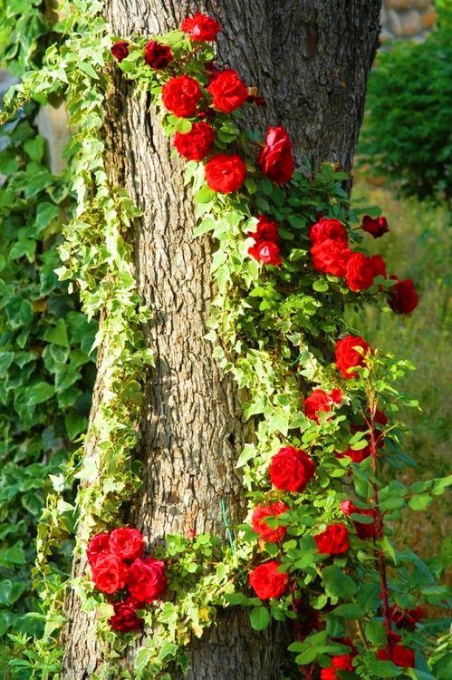 Climbing roses & ivy