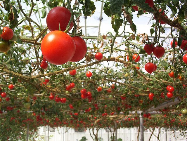 Tomatoes growing on an overhead trellis (arbor). Interesting idea!Gardens Ideas, Gardens Tomatoes, Trellis, Tomatoes Gardens, Vegetables Gardens, Growing Tomatoes, Tomatoes Plants, Tomatoes Growing, Hanging Gardens