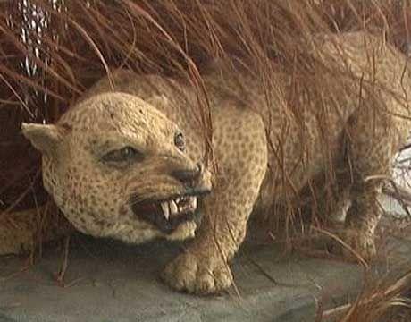 This Zanzibar leopard went instinct in 1996 keep the animals that are alive now safe!