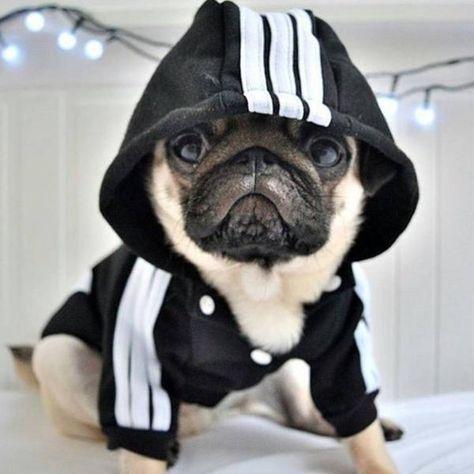 Pug in a hood