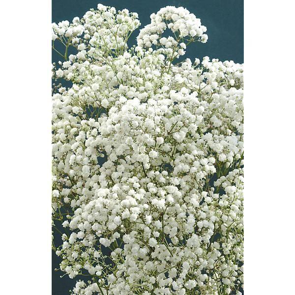 GYPSOPHILE paniculata SNOWFLAKE - Graines-Baumaux