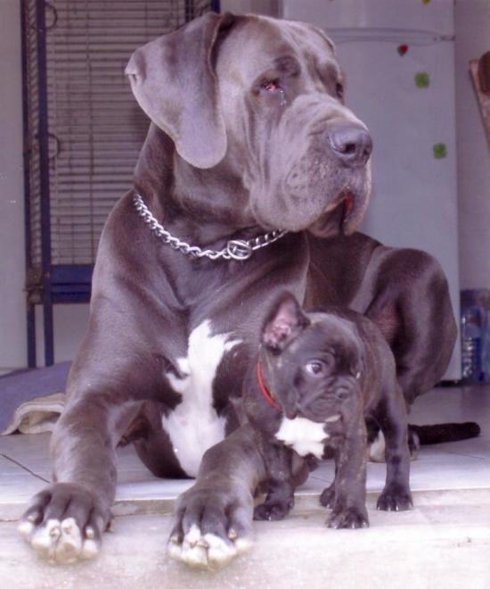 Les 100 meilleures images propos de chiens danois sur pinterest petits chiens grands - Heureux comme un danois ...
