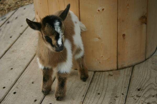 21 best goats images on pinterest goats dwarf goats - Craigslist okaloosa farm and garden ...