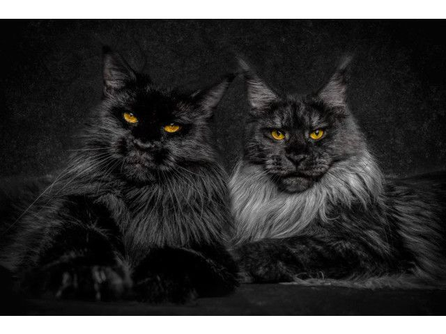 Maine coon ..²