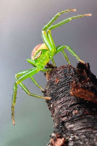 Green Crab Spider- creepy yet cool looking