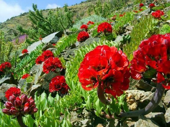 atacama desert red flowers