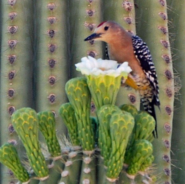 Arizona Gila Woodpeckers and Gilded Flickers are common inhabitants of saguaros. Owls, martins, and finches may also visit from time to time. Hawks will sometimes nest in the saguaro from which they can easily see their prey below.