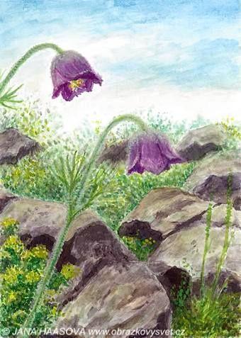 Pulsatilla bohemica on basalt hill Lovoš, České středohoří, Northern Bohemia. Watercolor by Jana Haasová