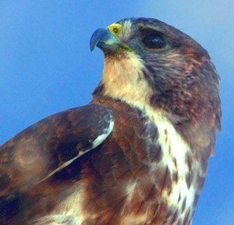 I'o - The Hawaiian Hawk found on the Big Island of Hawaii
