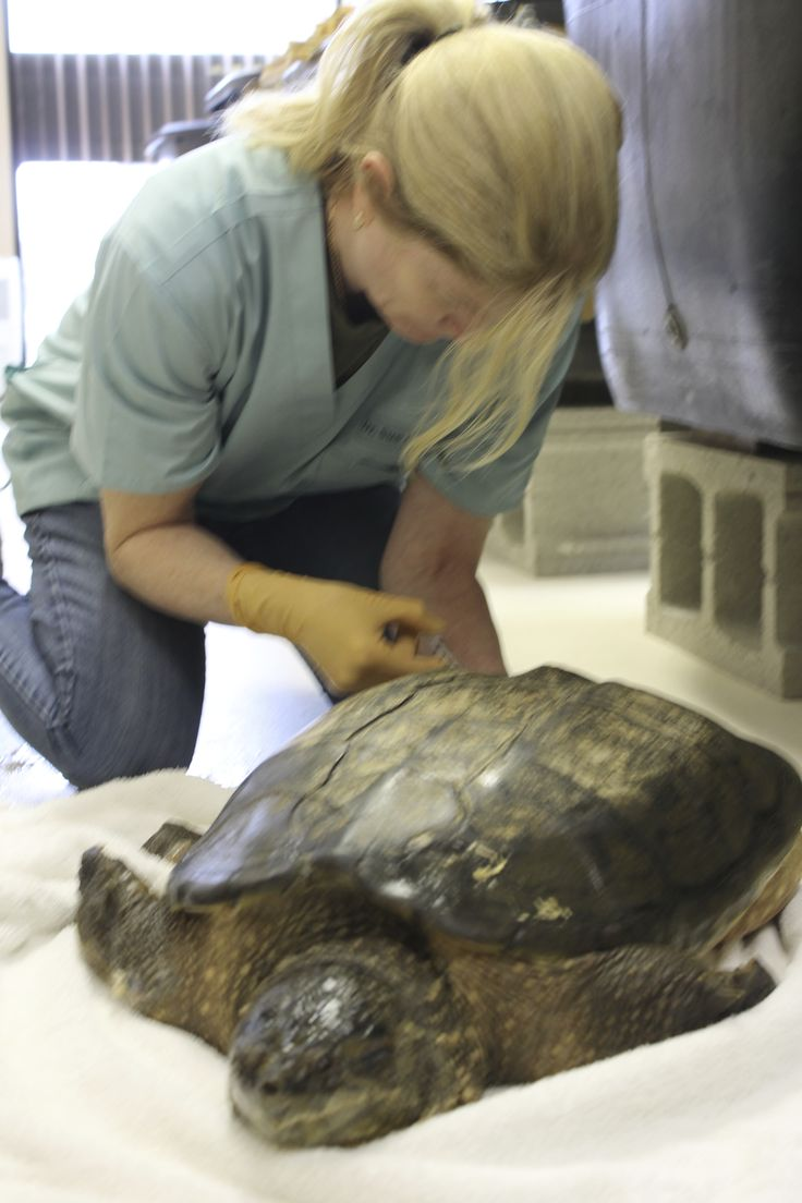 That's one big turtle! Kawartha Turtle Trauma Centre