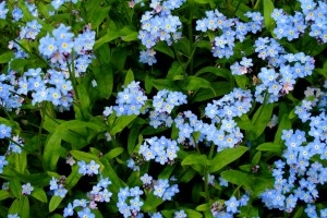 The perennial forget me not flower spreads easily, freely self seeding for more of the wild flower to grow and bloom in shady spots where the tiny seeds may fall. Forget me not flower care is minimal, as with most native wildflowers. Forget me not plants grow best in a damp, shady area, but can adapt to full sun.