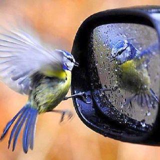 mésange bleue en pleine méprise face à son reflet dans un rétroviseur...                                                                                                                                                                                 More