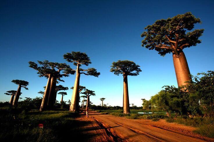 Il Baobab alleato prezioso in cosmesi
