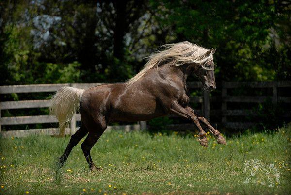 Rocky Mountain Stallion Beautiful Horses Horses