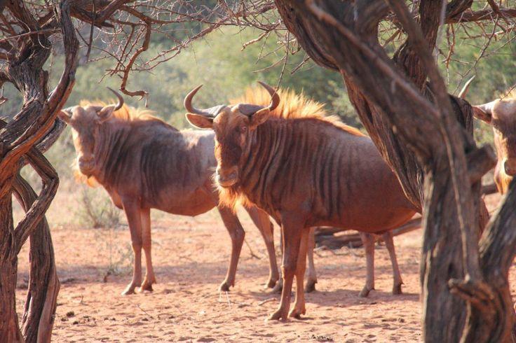 golden wildebeest