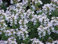 fiori di timo l Timo viene usato come aroma in cucina, si raccolgono i fiori e le foglie che vengono usati per insaporire minestre e carni. È pianta mellifera molto visitata dalle api, che ne ricavano un ottimo miele