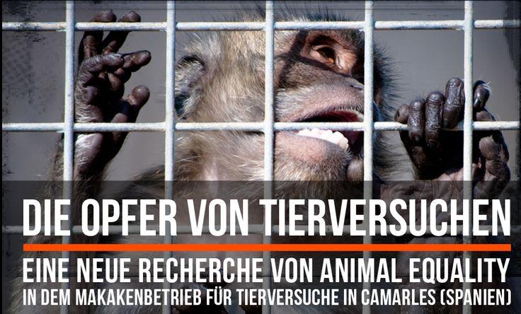 Eine Recherche von Animal Equality hat die Primatenanlage in Camarles (Katalonien) untersucht, die Tierversuchslabore auf der ganzen Welt beliefert. Alle Informationen sowie die Petition findet ihr unter www.tierversuche.org