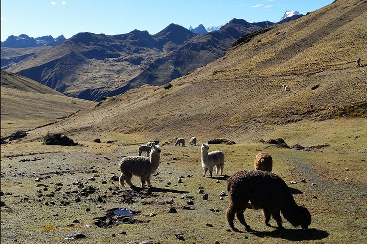 Empire of the sun - stunning landscapes, cute critters and awe-inspiring views greet independent adventurers on the Lars Trek to Machu Picchu.