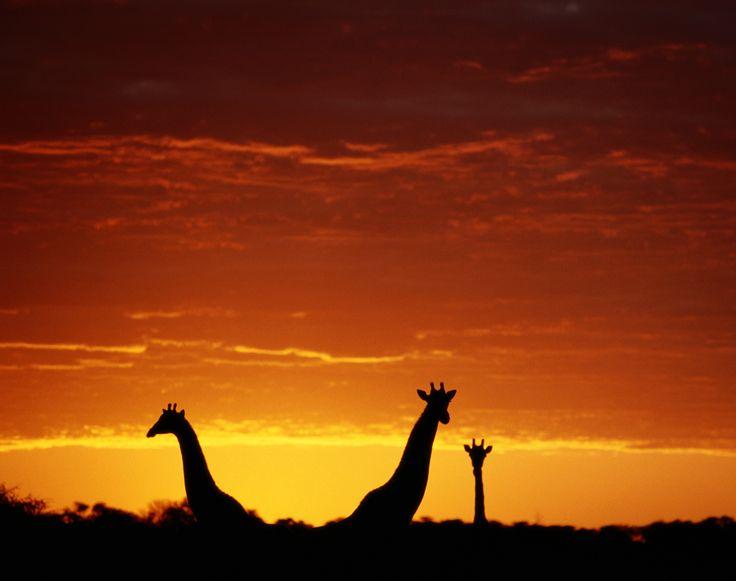 Silhouette of three giraffes, necks high above the tree line, in an intense red and orange sunset, Botswana.
