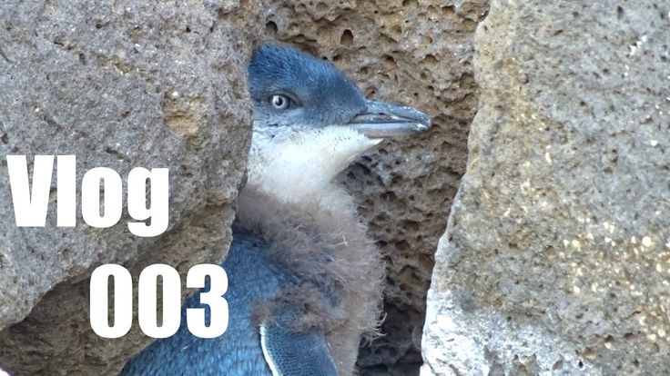 Vlog: Little Penguins at the Beach of Melbourne