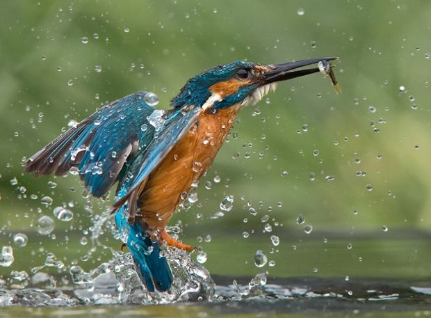 A kingfisher is frozen in flight, captured by the swift shutter of photographer Jamie MacArthur on the Norfolk Broads.