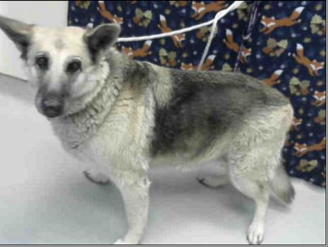 RESCUED BY HAPPY HEARTS GSD RESCUE! Please send pledges via PayPal to: happyheartsgsdrescue@gmail.com  Senior shepherd lived life outdoors, taken to animal control and then forgotten