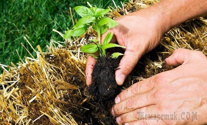 Как вырастить овощи на соломе?