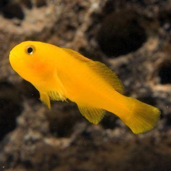 Saltwater aquarium fish for marine aquariums clown goby for Yellow saltwater fish