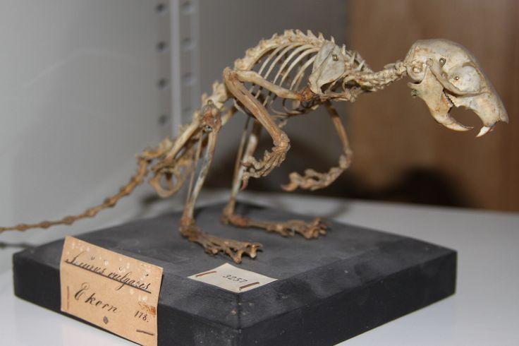 Dette ekornet fra 1878 er blant skattene som dukket opp da biologerbegynte å rydde i gamle bein og skjeletter.