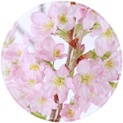 啓翁桜|啓翁桜の通販なら味の農園