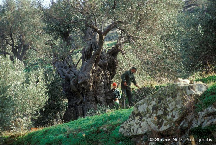 Olive tree @ Paros island , Greece !!!