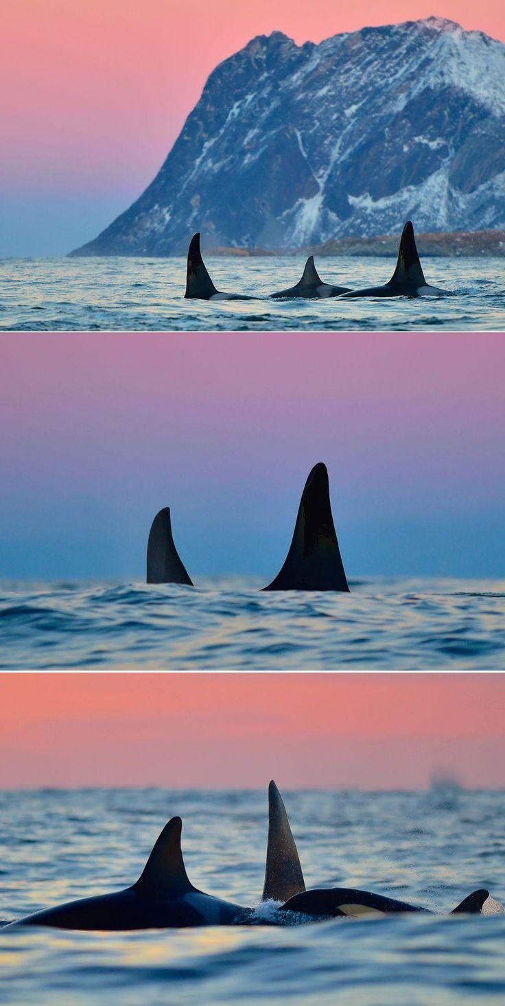 Black fins, blue moutains, pink skies. Orcas in Norway by Koen Hoekemeijer.