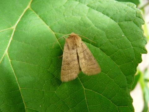 Hoplodrina blanda: the rustic moth | The Nature of Dorset