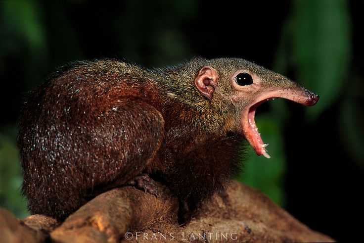 Greater treeshrew, Tupaia tana, Danum Valley Conservation Area, Borneo