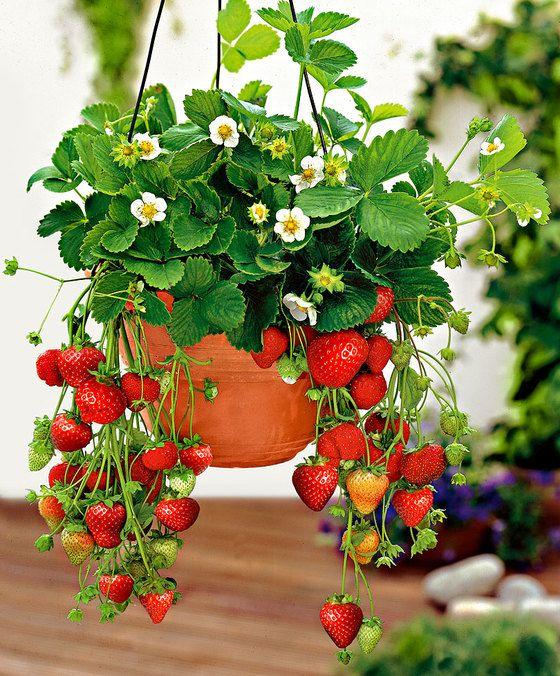 Aardbeien  hangpotten  Aardbeien in hangpotten hebben iets bijzonders. Proef en geniet van uw aardbeien uit eigen tuin en ervaar een ware smaaksensatie. Iedere hangpot wordt met 3 aardbeiplanten geleverd. Hang de potten met een diameter van 18 cm op een lichte en zonnige plaats. Zie vervolgens de heerlijke rode vruchten voor uw ogen gevormd worden.  EUR 18.95  Meer informatie
