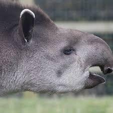 Image result for tapir zoologico de chapultepec