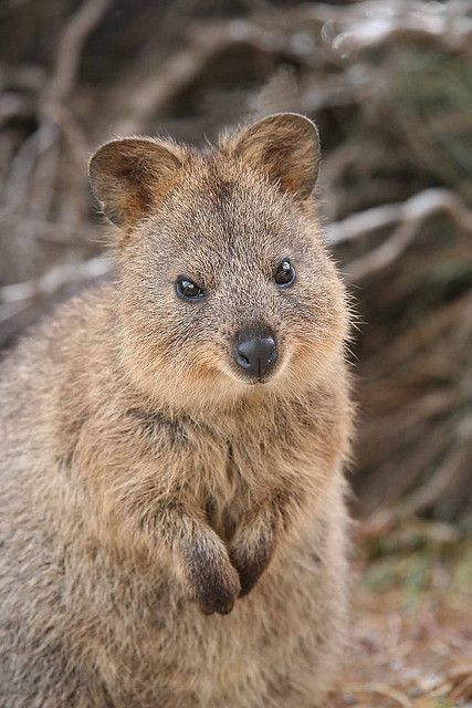 The Quokka is found in Western Australia, mainly on Rottnest Island (near Perth). They also exist in small groups on the mainland in bushland surrounding Perth. They thrive in a warm climate, living among bushland in tall grass. They create their own trails and paths for feeding and escaping predators.