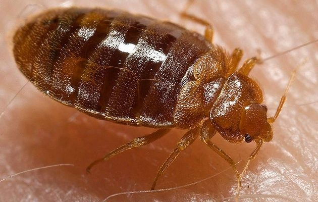 Scientists decode bed bug stink of love