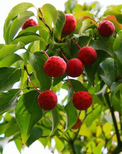 Fruit of the Kousa Dogwood
