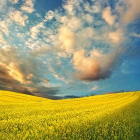 A gorgeous shot of a golden canola field.