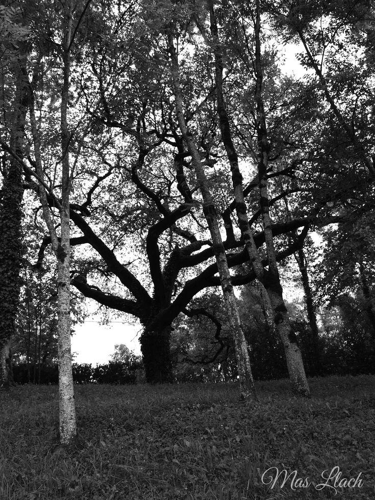 Si us fixeu mentre camineu, pel nostre entorn, podreu veure arbres com aquest!