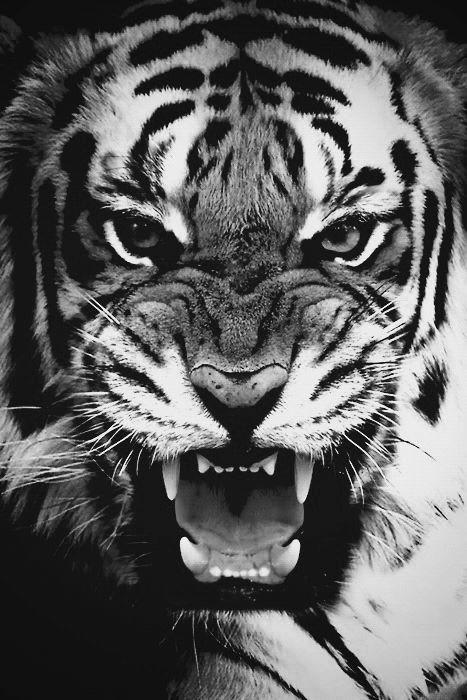 Grrrrr! Tiger black and white
