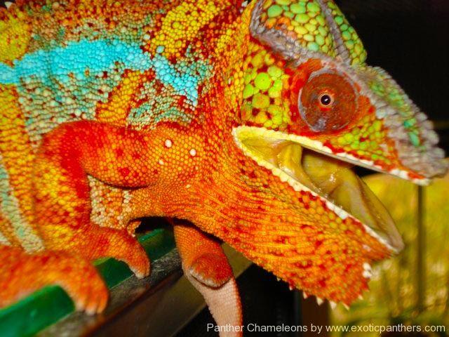 606 best chameleons images on Pinterest Chameleons Lizards and
