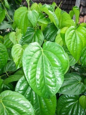 Jika mendengar kata daun sirih maka kita akan selalu terbayang kepada nenek kita yang sering mengunyah daun sirih sampai-sampai gigi dan bibir mereka merah kehitam-hitaman.