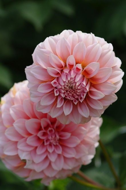 Dahlia Peaches x 5 good for cutting - Parkers.  Potted up inside end Feb. Planted into J, front row.  Excellent