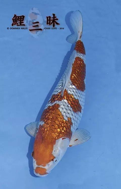 Ginrin ochibashigure koi pinterest for Koi fish eggs for sale